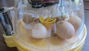 egg eggs incubate incubator chicks