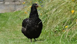 jersey giant rhode island red american chickens