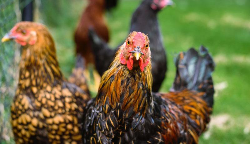 chickens neighbors neighbor chicken