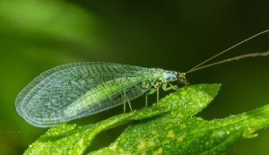 beneficial insects garden bugs