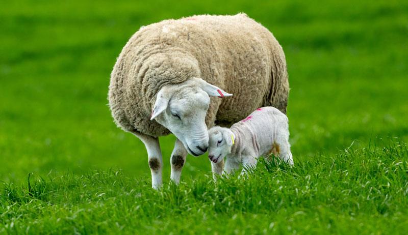 sheep lamb baby livestock farm birthing season