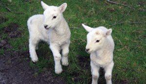 lamb lambs sheep lambing ewes