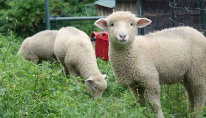 lambing season lambs