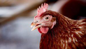 chickens talk chicken