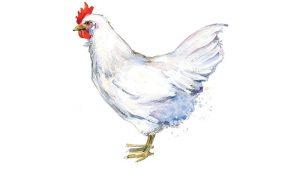 leghorn chicken mystery breed