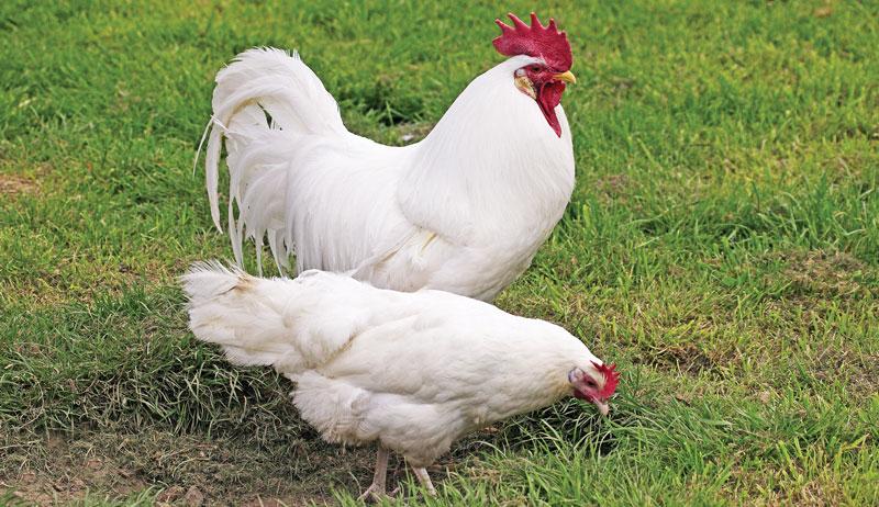chickens best chicken breed breeds