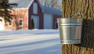 maple syrup sugaring
