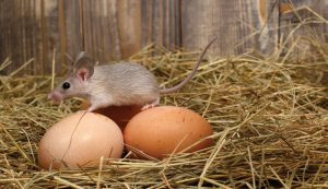 mouse mice rat rats rodent rodents chicken coop