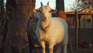 fiber goats nigora