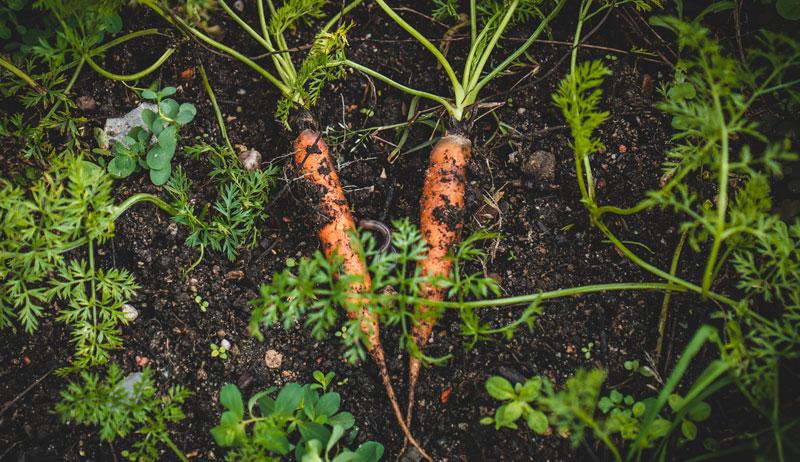 the living soil handbook carrots garden