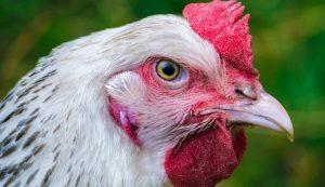 aging chicken chickens flock
