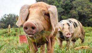 hog pastures