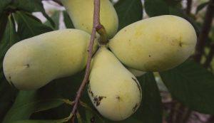 pawpaw fruit cluster tree