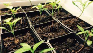 grow garden peppers