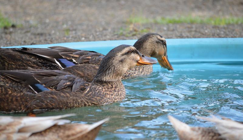 permaculture livestock ducks