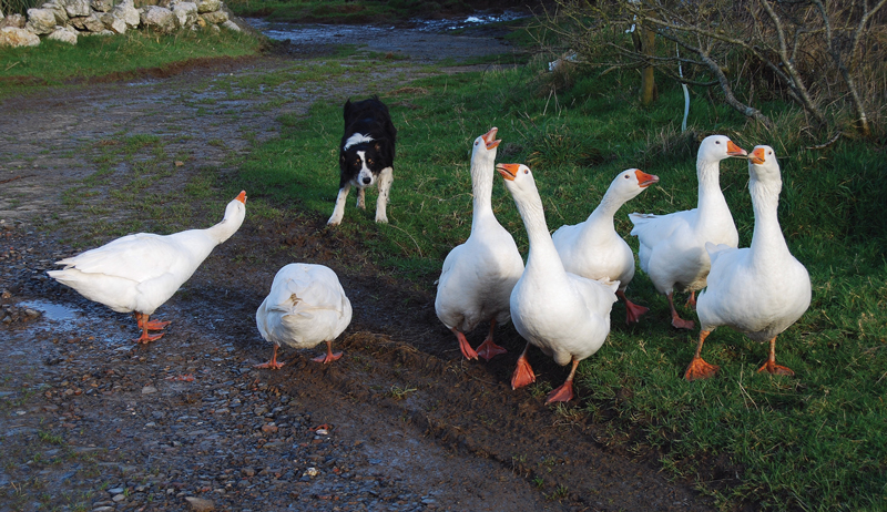 permaculture livestock geese