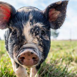 African Swine Fever: An Update