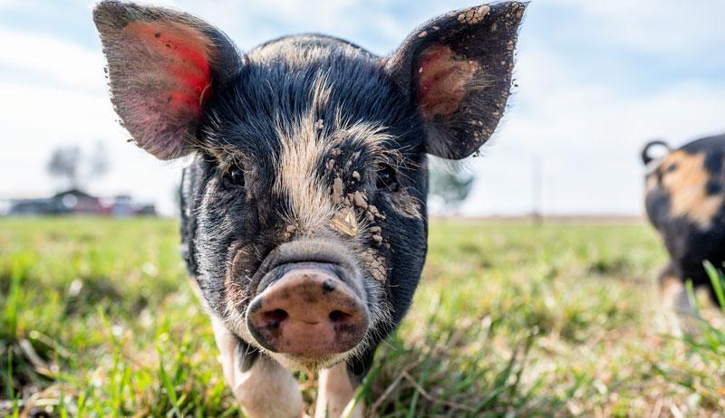Africa swine fever