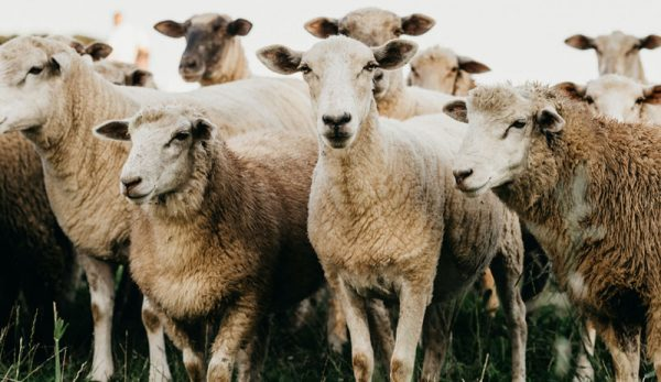 Evaluating Sheep Body Condition Before Breeding Season