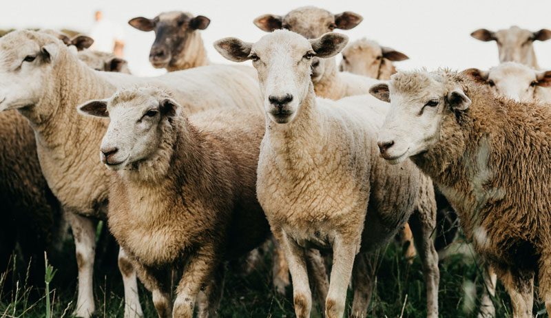 sheep score body condition conditioning