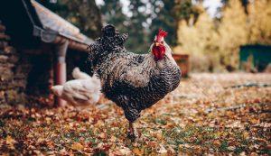 chickens chicken pecking order
