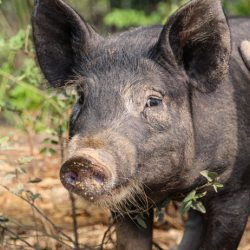 How You Can Use Pigs To Build Better Compost