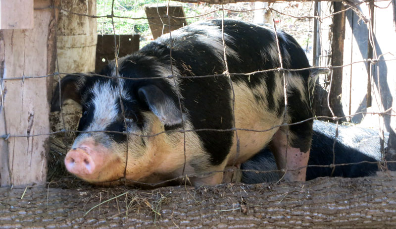 homestead pig small farm pigs