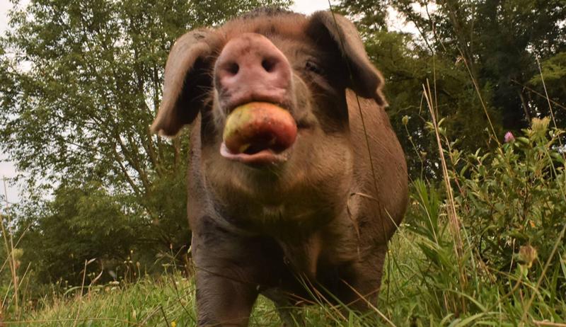 butcher stealing meat pork