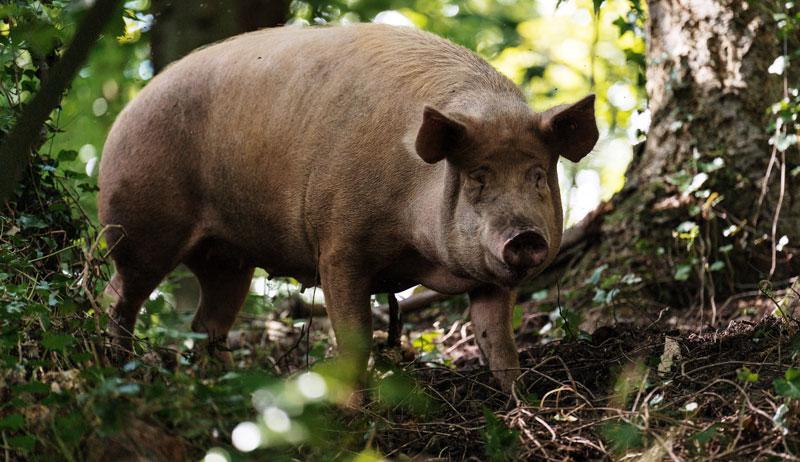 pig pigs soil landscape