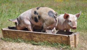 pig pigs food feed scraps waste