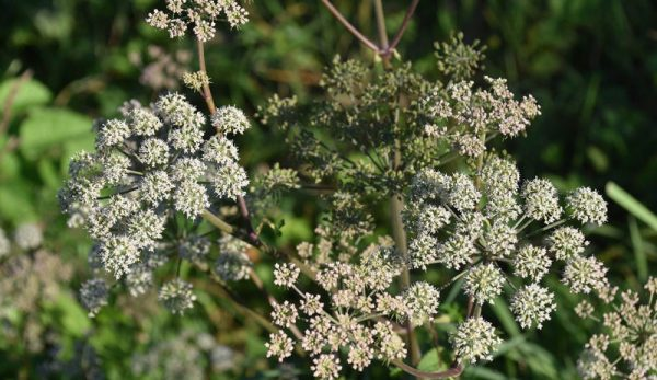 Poison Hemlock, Poison Ivy & Other Opportunists Are On The Rise