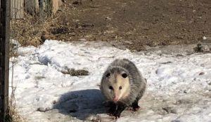 uninvited coop guest possum predator
