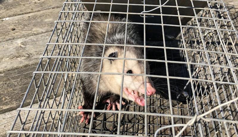 uninvited coop guest possum cage trap