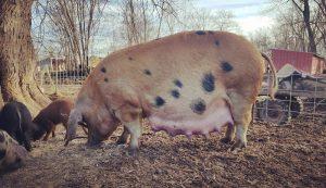 pig pregnant sow