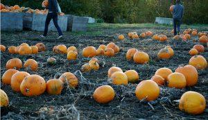 pumpkin patch farm income profit