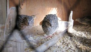 benefits of quail over chickens