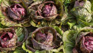 grow radiccio garden