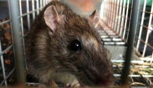rat infestation rats