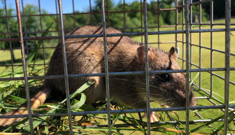 bait predator traps