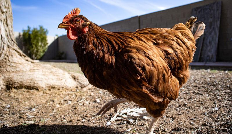 chicken hen add flock adding