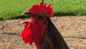 rooster crow crowing roosters crows