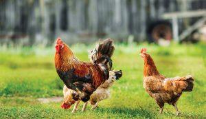 chickens chicken math numbers