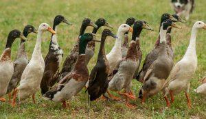 ducks duck eggs