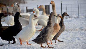 duck eggs fresh