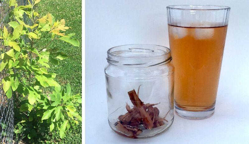 sassafras tea tree root