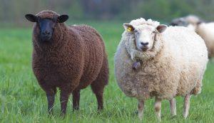 raising livestock sheep breeds