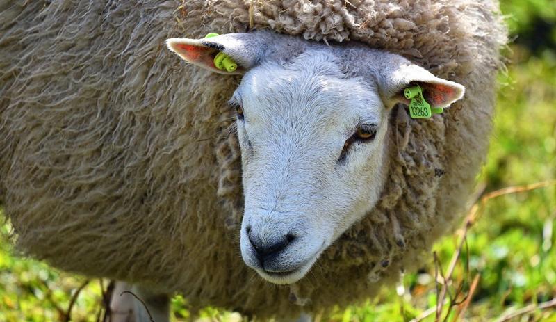 livestock identification identify sheep ear tag