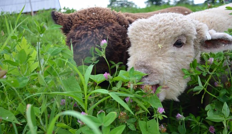 livestock garden sheep