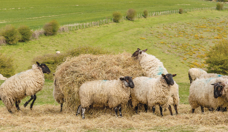 sheep feed hay ruminant ruminants