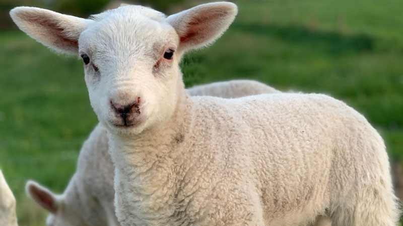sheep FAMACHA